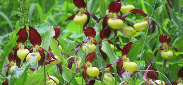 Orchideenblüte im Hegau